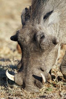Free Warthog Royalty Free Stock Photo - 21101685