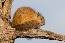 Free Tree Squirrel Royalty Free Stock Photos - 21101818