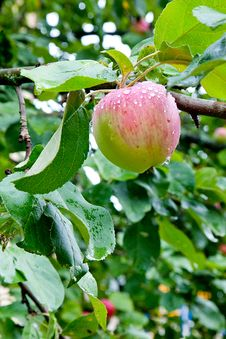 Free Apple Tree After Rain Royalty Free Stock Images - 21102189