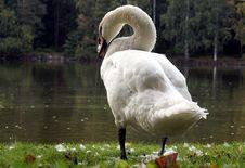 Free Mute Swan Standing Stock Photo - 21102390