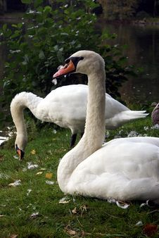 Free Mute Swans And Feathers Royalty Free Stock Images - 21102399