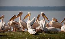 Free Pelicans Stock Photos - 21102433