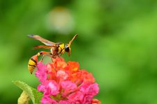 Free Wasp Stock Images - 21102574