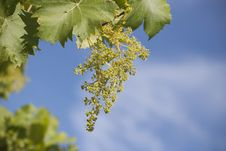 Free Grapes Stock Image - 21102671