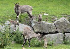 Free Himalayan Blue Sheep Stock Photos - 21102973