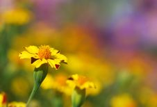 Free Tagetes Flower Royalty Free Stock Photos - 21103348
