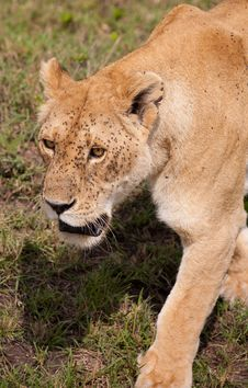 Lion Flies Stock Image