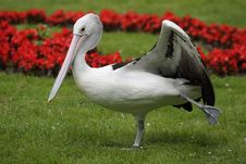 Free Australian Pelican Royalty Free Stock Photos - 21103848