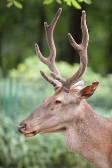 Free Atlas Deer Stock Photography - 21104022