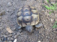 Free The Spur-thighed Tortoise Royalty Free Stock Photography - 21104147