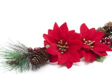 Free Poinsettia With Fir Cone Royalty Free Stock Photo - 21104585