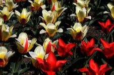Free Red And Yellov Tulips Stock Photos - 21104803