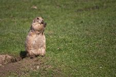 Free Black-tailed Prairie Dog Royalty Free Stock Image - 21105186