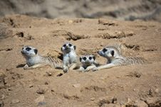 Free Resting Meerkats Royalty Free Stock Photo - 21105195