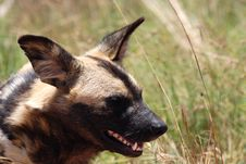 Free Wild Dog Royalty Free Stock Photography - 21105367