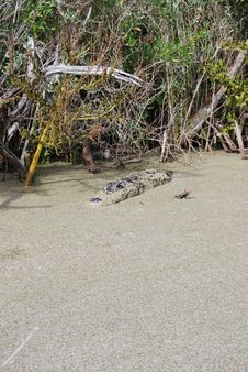 Free Lurking In The Swamp Stock Images - 21105414