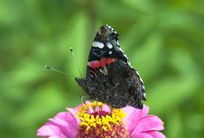 Free Butterfly The Admiral On A Pink Flower Royalty Free Stock Photo - 21105625