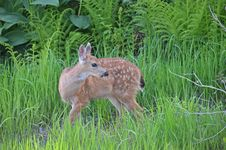 Baby Deer Grazing Royalty Free Stock Photo
