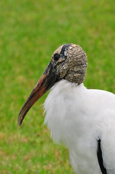 Free Wood Stork Stock Photo - 21105940