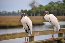 Free Two Wood Storks On A Pier Royalty Free Stock Photography - 21105947