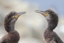 Free Juvenile Shags (Phalacrocorax Aristotelis) Stock Photography - 21105972