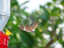Free Hummingbird Feeding From A Hanging Feeder Stock Photo - 21106040