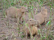Free Capybara, Amazon River Peru Stock Photo - 21106180