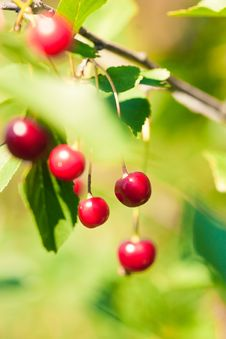 Free Red Cherry Stock Photography - 21106412