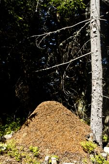 Free The Big Ant Hill In Wood Royalty Free Stock Photo - 21106625