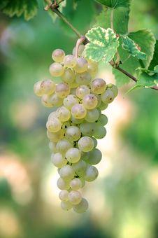Free White Grapes Stock Image - 21106711