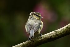 Free Blue Tit Royalty Free Stock Photo - 21106975