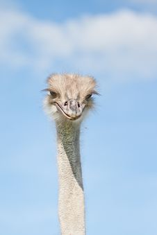 Free Ostrich Royalty Free Stock Photo - 21107205