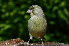 Free Green Finch Stock Photography - 21107412