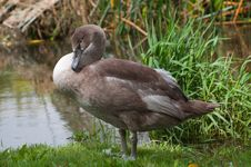 Free Cute Cygnet Preens On Riverbank Stock Photo - 21107570
