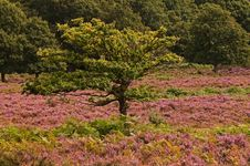 Lone Oak Grows Amongst Wild Heather Royalty Free Stock Photo