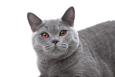 Free British Blue Cat Stock Photography - 21107922