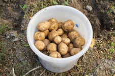 Free Ecological Potatoes Royalty Free Stock Photography - 21107957