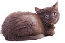 Chestnut British Kitten Stock Photo