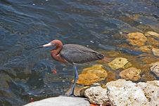 Free Reddish Egret Stock Images - 21108714