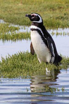 Magellanic Penguin Stock Photo