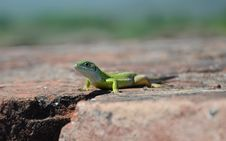 Free Lizard Stock Photos - 21109043