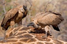 Free Feeding Vultures Royalty Free Stock Photography - 21109467