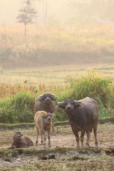Free A Herd Of Buffalos In Dry Field On Morning Stock Images - 21109864