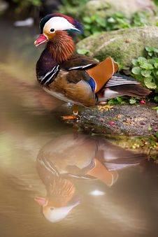 Free Mandarin Duck Stock Image - 21109891