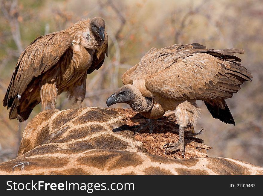 Feeding vultures