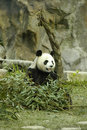 Free Chinese Panda Royalty Free Stock Photo - 21115135