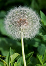 Free Dandelion Close Up Royalty Free Stock Images - 21117709