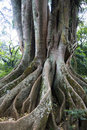 Free Old Tree Root Stock Image - 21118971