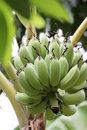Free Green Young Banana Royalty Free Stock Image - 21119496