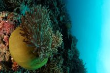 Free Anemone On The Reef Royalty Free Stock Photography - 21111367